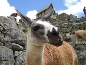 Big curious alpaca